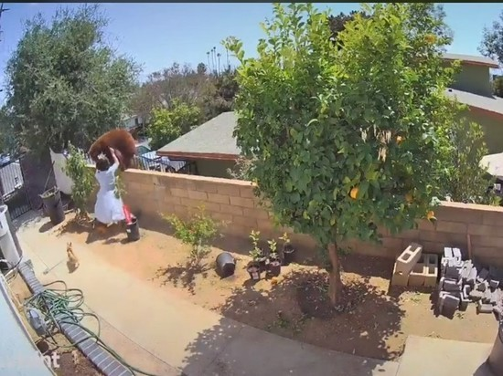 В Калифорнии женщина голыми руками прогнала медведя, защищая своих собак.